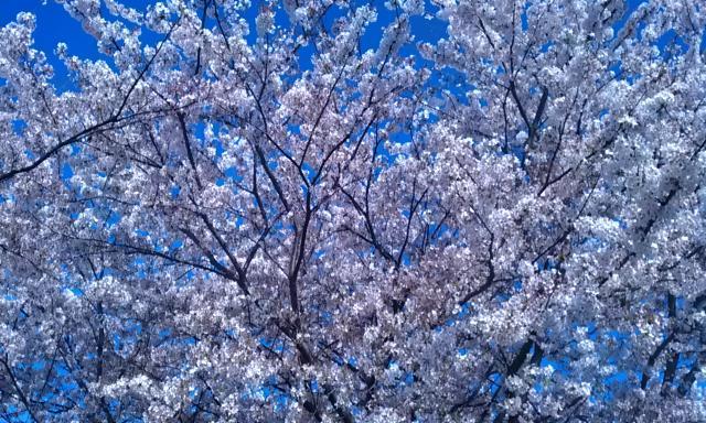鴨居の桜 満開です