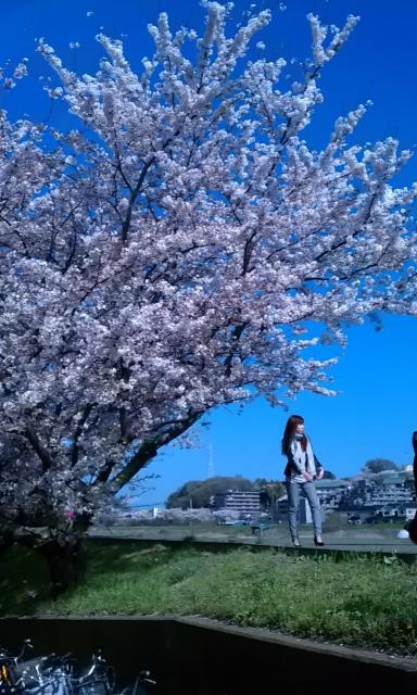 鴨居 川沿いに咲く桜